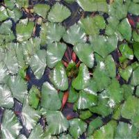 水培植物碗莲种子 睡莲花卉种子 室内多品种